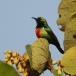 Feeënhoningzuiger – Beautiful Sunbird