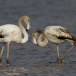 Flamingo - Greater Flamingo 01