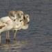 Flamingo - Greater Flamingo 02