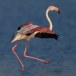 Flamingo - Greater Flamingo 05