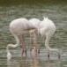 Flamingo - Greater Flamingo 07