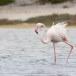 Flamingo-Greater-Flamingo-10
