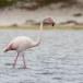 Flamingo-Greater-Flamingo-13