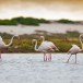 Flamingo-Greater-Flamingo-15