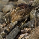 frater-twite-01