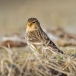 frater-twite-02