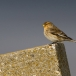 frater-twite-04