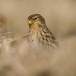 frater-twite-07