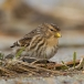 frater-twite-13