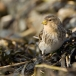 frater-twite-15
