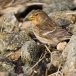 frater-twite-16