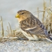 frater-twite-17