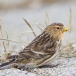 frater-twite-18