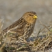 frater-twite-20