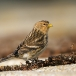 frater-twite-21