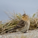 frater-twite-25