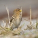 frater-twite-26