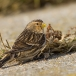 frater-twite-28