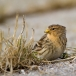 frater-twite-30