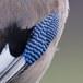 Gaai – Eurasian Jay
