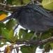 galapagos-reiger-lava-heron-01