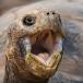 Galapagos reuzenschildpad – Galapagos Giant Tortoise