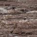 galapagos-velduil-galapagos-short-eared-owl-01