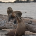 galapagos-zeeleeuw-galapagos-sea-lion-10