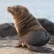 galapagos-zeeleeuw-galapagos-sea-lion-16