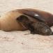 galapagos-zeeleeuw-galapagos-sea-lion-17