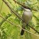 Gambiapoederdonsklauwier – Northern Puffback