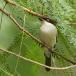gambia-poederdonsklauwier-northern-puffback-02