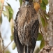 geelkruinkwak-yellowcrowned-night-heron01