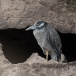 geelkruinkwak-yellowcrowned-night-heron02