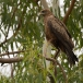geelsnavelwouw-yellow-billed-kite-06