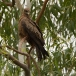 geelsnavelwouw-yellow-billed-kite-07