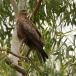 geelsnavelwouw-yellow-billed-kite-08