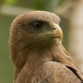 Geelsnavelwouw – Yellow-billed Kite