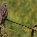 geelsnavelwouw-yellow-billed-kite-14