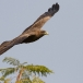 geelsnavelwouw-yellow-billed-kite-16