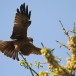 geelsnavelwouw-yellow-billed-kite-22