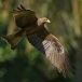 geelsnavelwouw-yellow-billed-kite-27