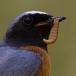 Gekraagde roodstaart – Common Redstart