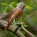 gekraagde-roodstaart-common-redstart-07