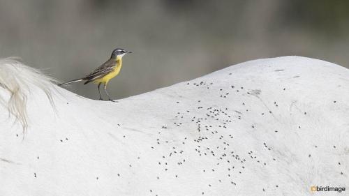 Gele kwikstaart - Western Yellow Wagtail 09
