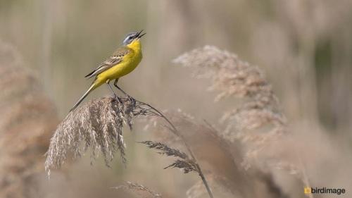 Gele kwikstaart- Yellow Wagtail 07