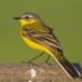 gele-kwikstaart-yellow-wagtail-04