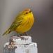 Gele zanger – Yellow Warbler