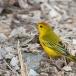gele-zanger-yellow-warbler-02