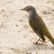 gele-zanger-yellow-warbler-03